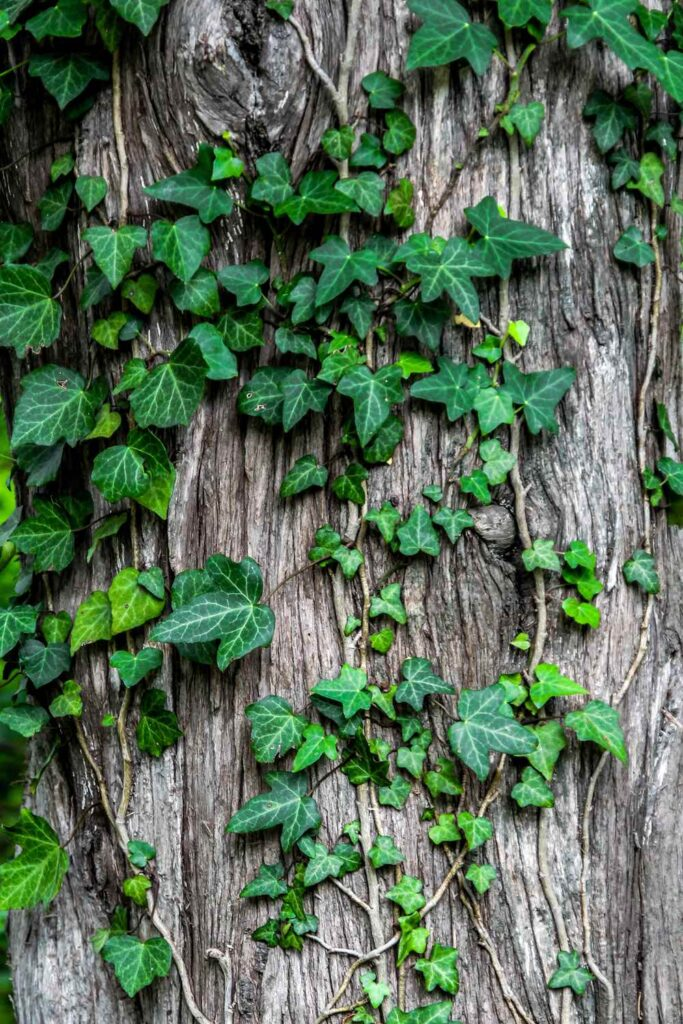 Ivy plant creeper garden bark