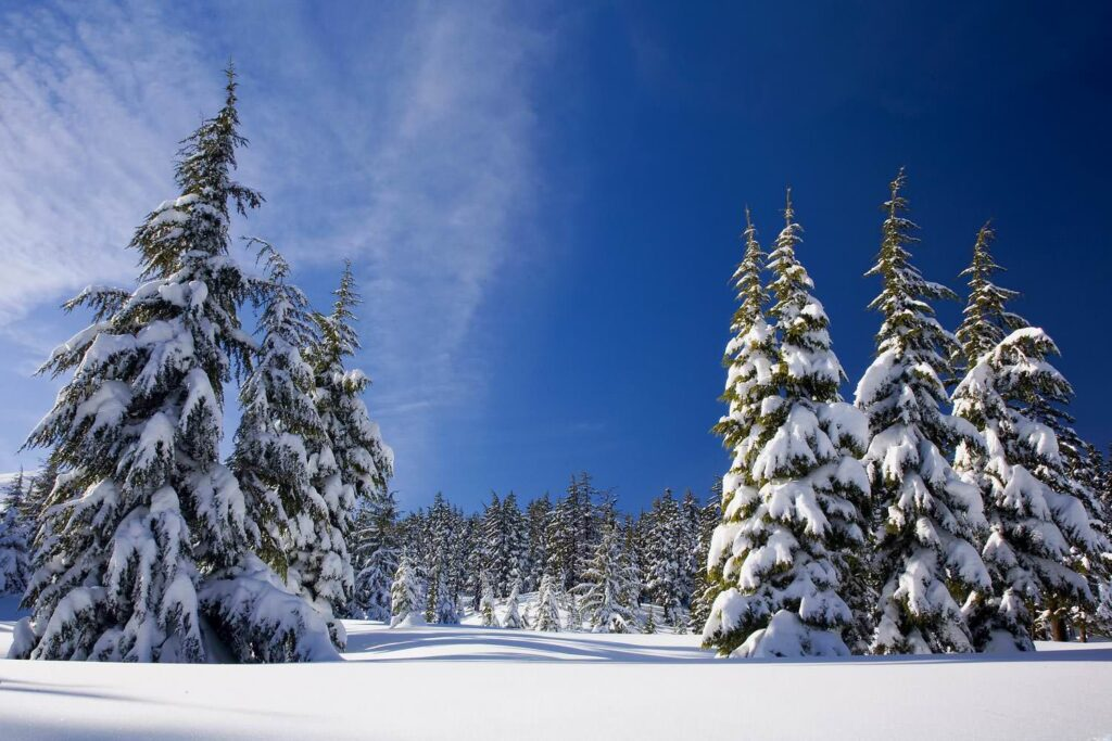 Snow forest winter nature with trees