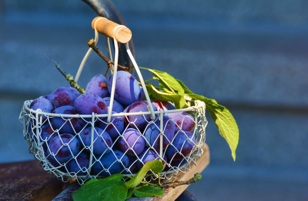 Plums fruit with  blue basket